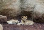 lavići iz zagrebačkog Zoološkog vrta