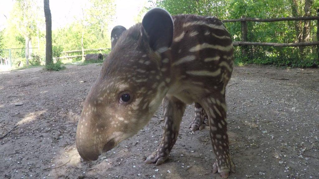 beba tapir